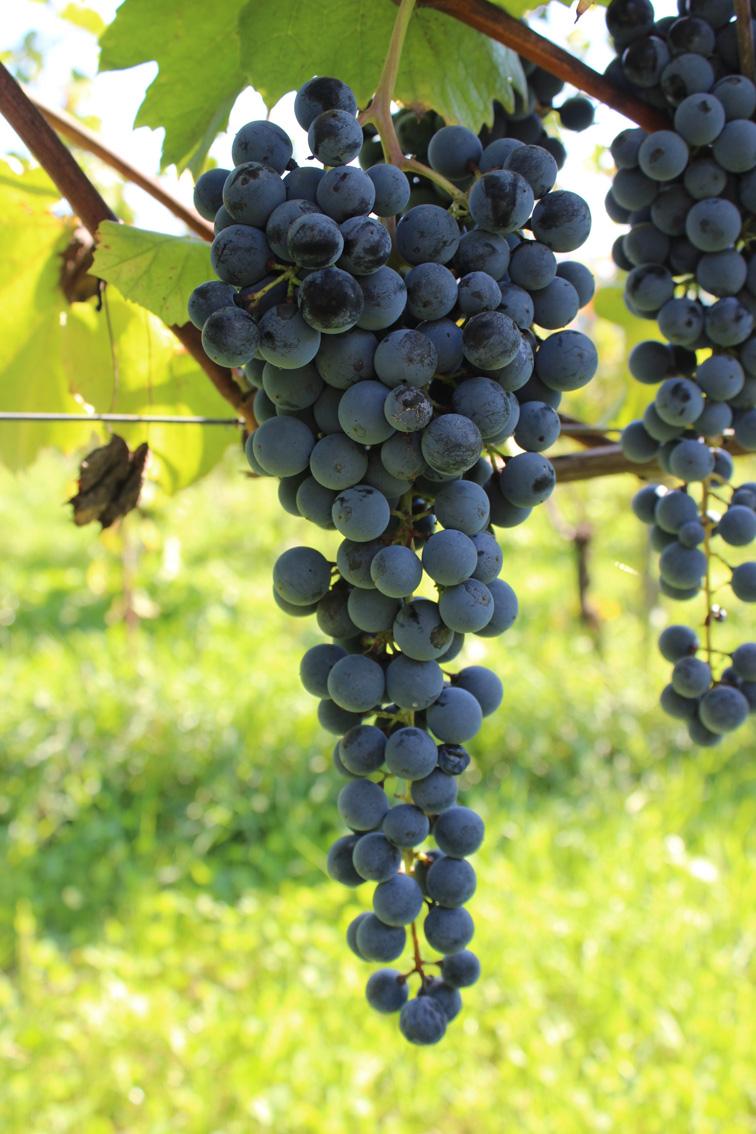 6-grappolo-semenzale